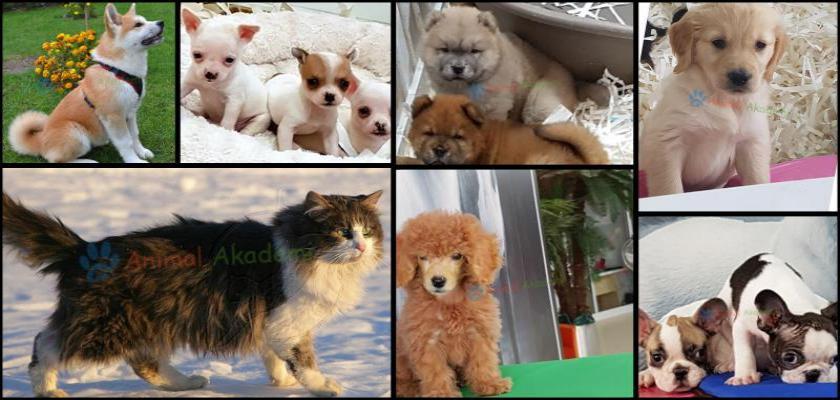 Yavru Köpeklerde Ev İçi Uyum Ve Sosyalleştirme Eğitimi